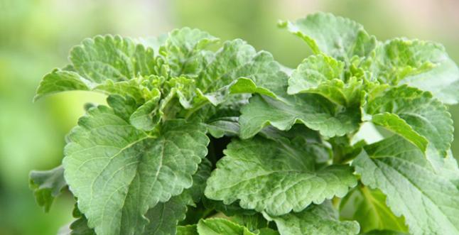 Stevia Plant (www.lilyssweet.com)