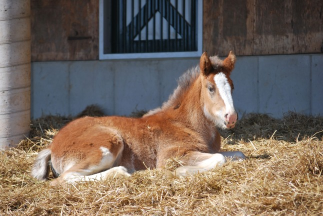 """Baby Clydesdale Hope, star of Budweiser's Super Bowl spot """"Brotherhood,"""" rests at her home in Warm Springs Ranch in March 2013. Warm Springs Ranch, located in Boonville, MO, opens to the public on April 1, where visitors will be able to see more than 35 baby Clydesdales throughout the 2013 season.  (PRNewsFoto/Anheuser-Busch)"""