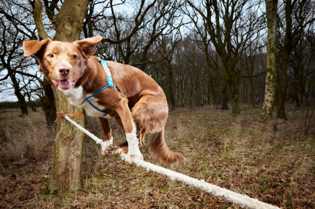 Ozzy - Fastest Crossing Of A Tightrope By A Dog - Leading the charge into the new Guinness World Records 2014 book, out today, a British dog called Ozzy is recognised for the Fastest Crossing of a Tightrope by a Dog.   The 4-and-half-year-old successfully crossed a rope measuring 3.5 m in 18.22 seconds. Photographer: Paul Michael Hughes/Guinness World Records