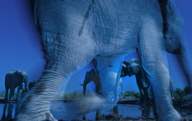 "Essence of elephants: Ever since he first picked up a camera, Greg du Toit has photographed African elephants. ""For many years, I've wanted to create an image that captures their special energy and the state of consciousness that I sense when I'm with them. This image comes closest to doing that."" The shot was taken at a waterhole in Botswana's Northern Tuli Game Reserve, from a hide (a sunken freight container) that provided a ground-level view. Greg chose to use a slow shutter speed to create the atmosphere he was after and try ""to depict these gentle giants in an almost ghostly way."" He used a wide-angle lens tilted up to emphasize the size of whatever elephant entered the foreground, and chose a narrow aperture to create a large depth of field so that any elephants in the background would also be in focus. Greg had hoped the elephants would turn up before dawn, but they arrived after the sun was up. To emphasize the ""mysterious nature"" of these ""enigmatic subjects"", he attached a polarizing filter and set his white balance to a cool temperature. The element of luck that added the final touch to his preparation was the baby elephant, which raced past the hide, so close that Greg could have touched her. The slow shutter speed conveyed the motion, and a short burst of flash at the end of the exposure froze a fleeting bit of detail. (Greg du Toit / Wildlife Photographer of the Year 2013) #"