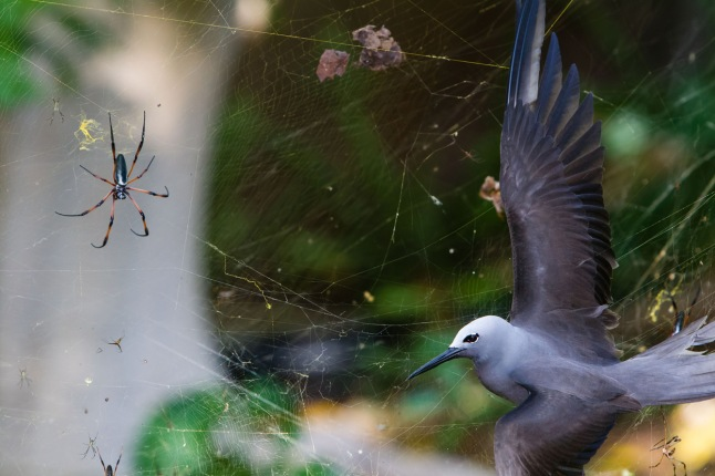 "Sticky situation: In May, the seafaring lesser noddies head for land to breed. Their arrival on the tiny island of Cousine in the Seychelles coincides with peak web size for the red-legged golden orb-web spiders. The female spiders, which can grow to the size of a hand, create colossal conjoined webs up to 1.5 meters in diameter in which the tiny males gather. These are woven from extremely strong silk and are suspended up to six meters above the ground, high enough to catch passing bats and birds, though it's flying insects that the spiders are after. Noddies regularly fly into the webs. Even if they struggle free, the silk clogs up their feathers so they can't fly. This noddy was exhausted, says Isak Pretorius, ""totally still, its fragile wing so fully stretched that I could see every feather"". The only way to accentuate the female spider was to crop the wings. And it was only human intervention that saved the bird. (Isak Pretorius / Wildlife Photographer of the Year 2013) #"