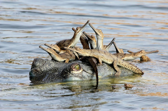 "Mother's little headful: One night, Udayan Rao Pawar camped near a nesting colony of gharials on the banks of India's Chambal River -- two groups of them, each with more than 100 hatchlings. Before daybreak, he crept down and hid behind rocks beside the babies. ""I could hear them making little grunting sounds. Very soon a large female surfaced near the shore, checking on her charges. Some of the hatchlings swam to her and climbed onto her head. Perhaps it made them feel safe."" It turned out that she was the chief female of the group, looking after all the hatchlings. Gharials were once found in rivers all over the Indian subcontinent. Today, just 200 or so breeding adults remain in just 2 per cent of the former range. ""The Chambal River is the gharial's last stronghold,"" says Udayan, ""but is threatened by illegal sand-mining and fishing."" (Udayan Rao Pawar / Wildlife Photographer of the Year 2013) #"
