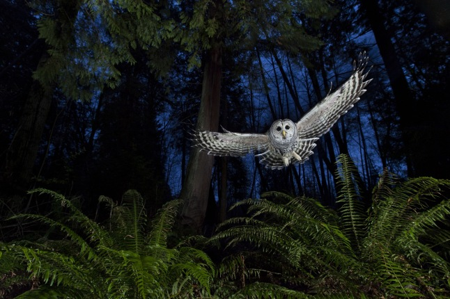 "The flight path: Connor Stefanison's photography draws on the wilderness skills he acquired over a childhood spent largely outdoors. This female barred owl had a territory near his home in Burnaby, British Columbia. He watched her for some time, familiarizing himself with her flight paths until he knew her well enough to set up the shot. ""I wanted to include the western red cedar and the sword ferns so typical of this Pacific coastal rainforest."" Setting up his camera near one of the owl's favorite perches, linked to a remote and three off-camera flashes, diffused and on low settings, he put a dead mouse on a platform above the camera and waited for the swoop that he knew would come. ""She grabbed the mouse, flew back to her perch and began calling to her mate. It is one of the most exciting calls to hear in the wild."" (Connor Stefanison / Wildlife Photographer of the Year 2013) #"