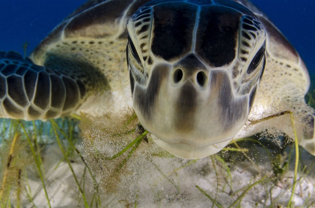 "Dive buddy: The beaches of the Yucatan Peninsula, Mexico, near Cancun are traditional nesting sites for the endangered green turtle. But as Cancun has also grown as a holiday and dive resort, development has reduced the area available to turtles. Today, though, many nest sites are protected, there are turtle hatcheries to help numbers increase, and there is publicity to help local people and resort owners value the natural riches of the region. Luis Javier Sandoval earns enough from tourism photography to allow him time to document his beloved wildlife. ""The turtles are so used to seeing people in the water that they think we're just part of the environment,"" says Luis, which means he has been able to get to know individuals, recognizing them from the markings on their faces. ""This meter-long female, grazing on seagrass, took no notice of me, apart from glancing up briefly."" Recently, Luis has noticed what he suspects may be a new threat: at certain times of the year, a yellowish alga covers some of the seagrass. The suspicion is that the algal growth is the result of sewage from the resort, which has already affected the coral. What is clear is that the turtles avoid eating it. (Luis Javier Sandoval / Wildlife Photographer of the Year 2013) #"