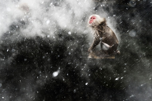 "Snow moment: When photographing the famous Japanese macaques around the hot springs of Jigokudani, central Japan, Jasper Doest had become fascinated by the surreal effects created by the arrival of a cold wind. Occasionally, a blast would blow through the steam rising off the pools. If it was snowing, the result would be a mesmerizing pattern of swirling steam and snowflakes, which would whirl around any macaques warming up in the pools. But capturing the moment required total luck -- for Jasper to be there when the wind blew and for the monkeys to be in the pool. For that luck to arrive, he had to wait another year. Returning the next winter, he determined to get the shot he'd been obsessing about. He set up using a polarizer to remove reflections from the water and create a dark contrasting background, and got ready to use fill-flash to catch the snowflakes. ""As it kept snowing, I stood there, willing the wind to pick up. I felt it just had to happen -- sometimes you can push your luck if I you just wait long enough."" But as the steam started swirling above the water, there wasn't a monkey in sight. ""All of a sudden one adult appeared and jumped on a rock in the middle of the pool. When I started shaking off the snow, I knew this was the moment."" (Jasper Doest / Wildlife Photographer of the Year 2013) #"