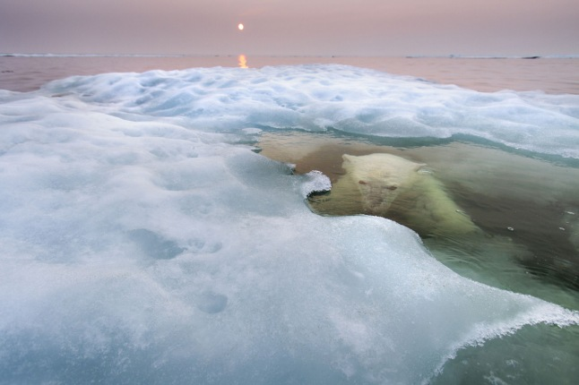 "The water bear: The fact that most images of polar bears show them on land or ice says more about the practical difficulties faced by humans than it does about the bears' behavior. With adaptations such as thick blubber and nostrils that close, polar bears are, in fact, highly aquatic, and they spend most of their time hunting seals on sea ice and are capable of swimming for hours at a time. Paul Souders took his Zodiac boat to Canada's Hudson Bay in midsummer to rectify this bias. He scouted for three days before he spotted a bear, this young female, on sea ice some 30 miles offshore. ""I approached her very, very slowly, and then drifted. It was a cat-and-mouse game."" When the bear slipped into the water, he just waited. ""There was just a flat world of water and ice and this polar bear swimming lazily around me. I could hear her slow, regular breathing as she watched me below the surface or the exhalation as she surfaced, increasingly curious. It was very special."" The light was also special, but for a sinister reason. The midnight sun was filtered through smoke from forest fires raging farther south, a symptom of the warming Arctic, the greatest threat facing the polar bear. As more and more sea ice melts earlier and earlier every spring, it becomes harder for the bears to hunt the seals they depend on. (Paul Souders / Wildlife Photographer of the Year 2013) #"