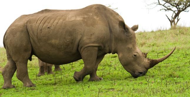 Africa's black rhino.  (PRNewsFoto/Crystal Cruises)