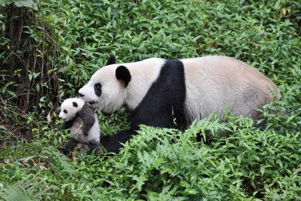 panda-600x400