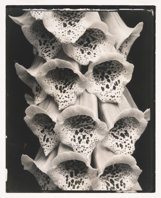 Edward Steichen, Foxgloves, France, 1925. Gelatin silver print, 9 15/16 × 7 15/16in. (25.2 × 20.2 cm). Whitney Museum of American Art; gift of Richard and Jackie Hollander in memory of Ellyn Hollander  2012.222