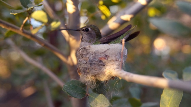A broad-tailed hummingbird in Arizona sits in the nest she built © THIRTEEN Productions LLC