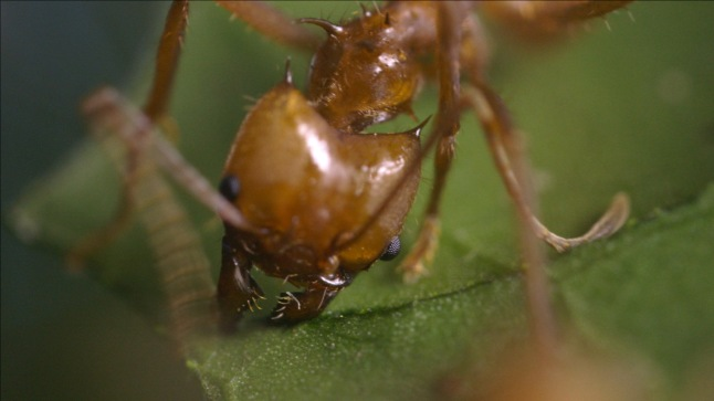 A leafcutter ant harvesting leaves to fertilize a fungus garden in its enormous nest © THIRTEEN Productions LLC