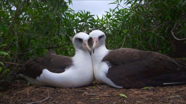 An albatross couple on the Hawaiian island of Oahu © THIRTEEN Productions LLC