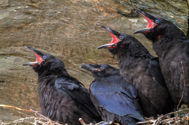 Close up of young ravens in a cliff face nest in the Green Mountains of Vermont © THIRTEEN Productions LLC