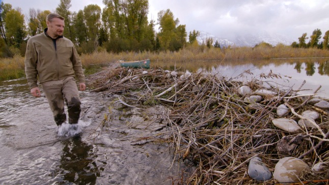 Host Chris Morgan examines a beaver dam in Jackson Hole, Wyoming © THIRTEEN Productions LLC