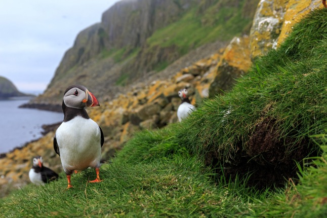 Puffins by a burrow in the Hebrides off the west coast of Scotland © THIRTEEN Productions LLC
