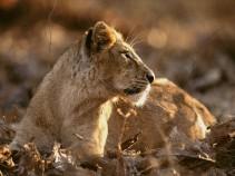 Asian Lion. Photograph by Mattias Klum