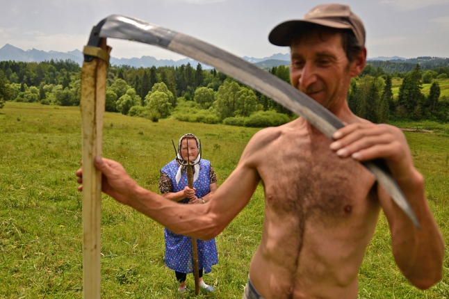 Traditional haymaking in Poland. Many people continue to use the scythe and pitchfork to cut and sort the hay.
