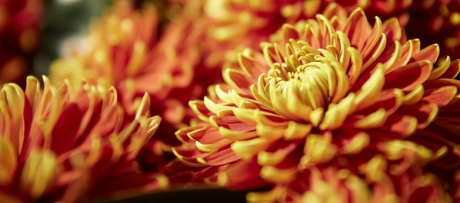 'Chrysanthemums and More!' exhibition