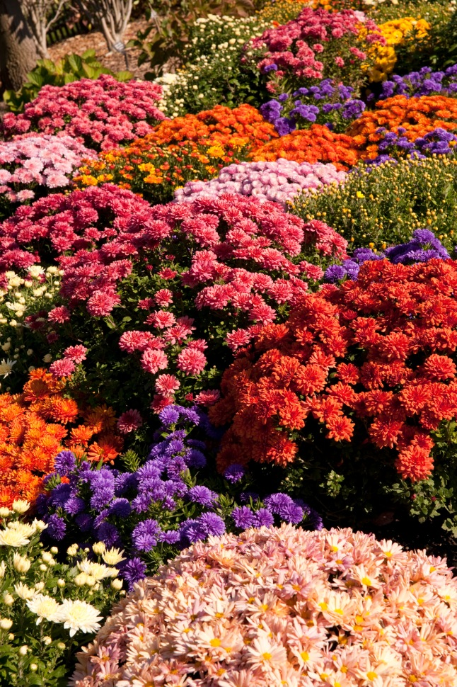 Chrysanthemums in bloom at the