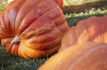 Giant Pumpkins at Michigan's Farm Garden
