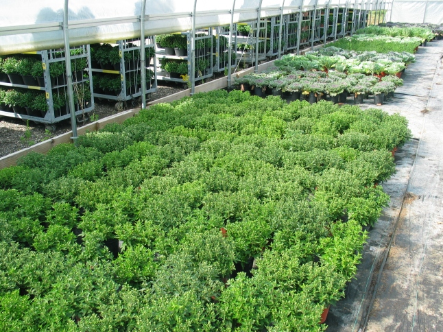 Hundreds of mums for the exhibition are gathered in the growing greenhouses, pre-event.