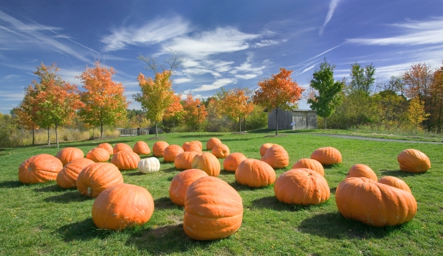 Pumpkins_Hebert