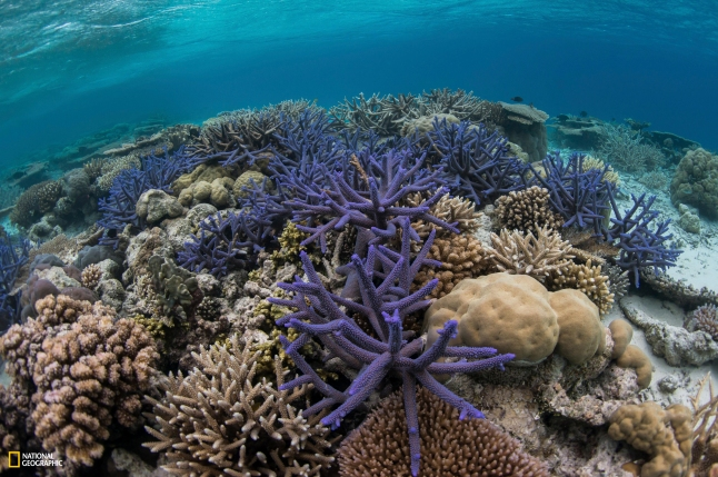 National Geographic Pristine Seas. Photo by Enric Sala/National Geographic STAGHORN CORAL: SIGNS OF RESILlENCE Palau's pristine reefs, such as these in the Ulong Channel, have come back strong even after being damaged by warming events in the 1990s and a big typhoon in 2012.