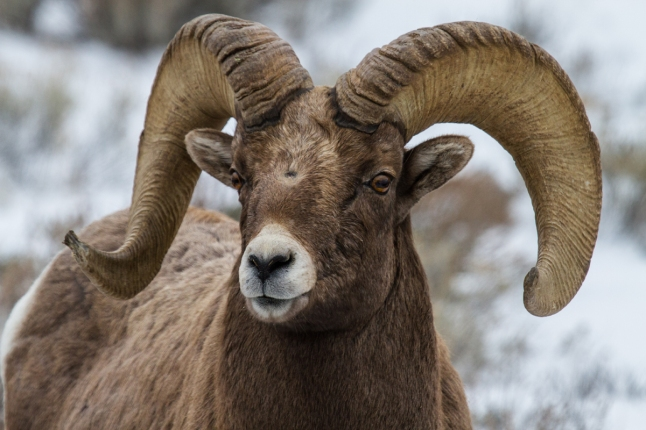 Big horn Sheep are one of the many species to see and photograph on the new 2016 Yellowstone safari trip from Wildlife Expeditions (Photo by Sean Beckett)