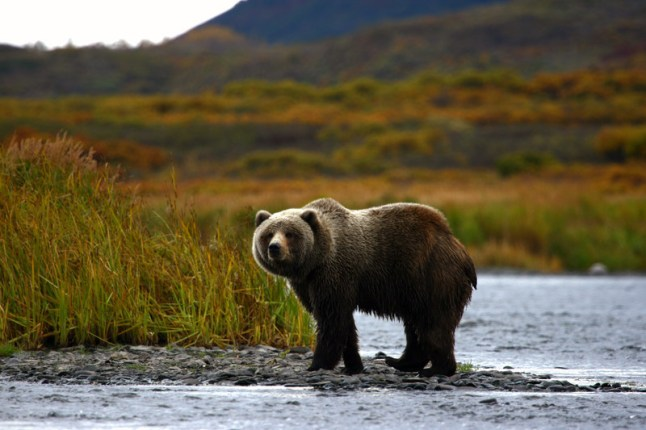 Alaskan Brown Bear (PRNewsFoto/Crystal Cruises)