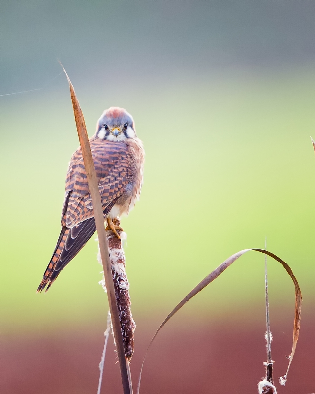 American Kestrel at Ridgefield National Wildlife Refuge in Wash. | Credit: Dennis Davenport, Grand Prize Winner (PRNewsFoto/National Wildlife Refuge ...)