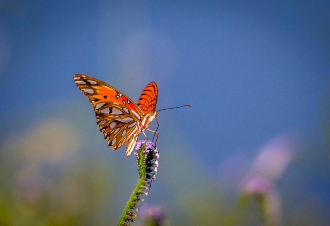 Gulf fritillary at Hagerman National Wildlife Refuge in Texas | Credit: Freddie Beckwith, Fourth Place Winner (PRNewsFoto/National Wildlife Refuge ...)