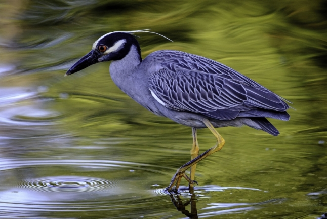 Yellow-crowned Night-Heron at J.N. Ding Darling National Wildlife Refuge in Fla. | Credit: Craig Goettschof, Second Place Winner (PRNewsFoto/National Wildlife Refuge ...)