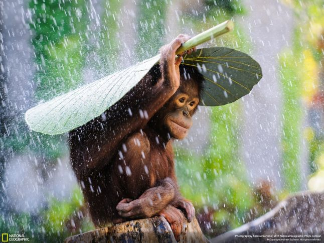 HONORABLE MENTION, NATURE Orangutan in the Rain Photo and caption by Andrew Suryono CATEGORY: Nature LOCATION: Denpasar, Bali, Indonesia I was taking photos of orangutans in Bali, Indonesia, when it started to rain. Just before I put my camera away, I saw this orangutan take a taro leaf and put it on top on his head to protect himself from the rain! I immediately used my DSLR and telephoto lens to preserve this spontaneous magic moment.
