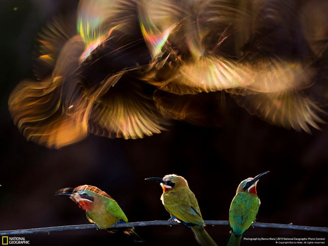 HONORABLE MENTION, NATURE Colorful Chaos Photo and caption by Bence Mate CATEGORY: Nature LOCATION: Mkuze, KwaZulu-Natal, South Africa White-fronted bee-eaters gather on a bough before going to sleep in their burrows, scraped into a sand wall. I was working on this theme for 18 days, as there were only five to ten minutes each day when the light conditions were appropriate. Ninety percent of my efforts to capture this image were not successful. I used flashlights to light the bee-eaters sitting on the branch, but not the others flying above. At this angle, the backlight generated rainbow coloring through the wings of the flying birds.