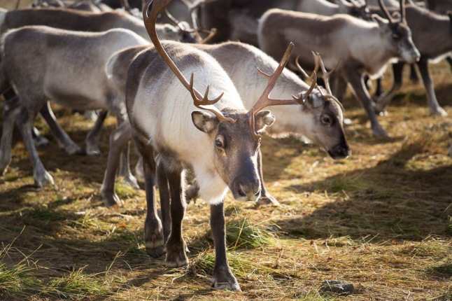 Adopt a reindeer and help to Promote the Sami parents' ability to raise their children aware of their culture, roots and identity. Photo Credit: Lisa Oberg