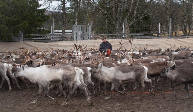 Reindeer Herder in action (Photo by Lisa Oberg)