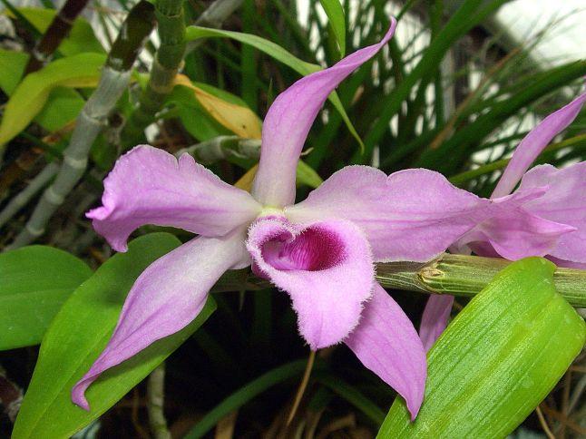 Dendrobium anosmum Orchid