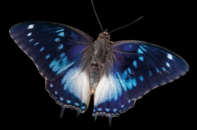 Blue-spotted emperor butterfly, Charaxes cithaeron, Omaha's Henry Doorly Zoo and Aquarium