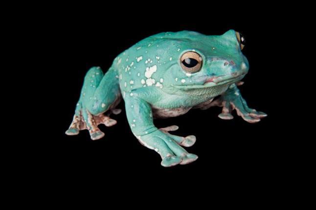 Chinese flying frog, Rhacophorus dennysi, Phoenix Zoo