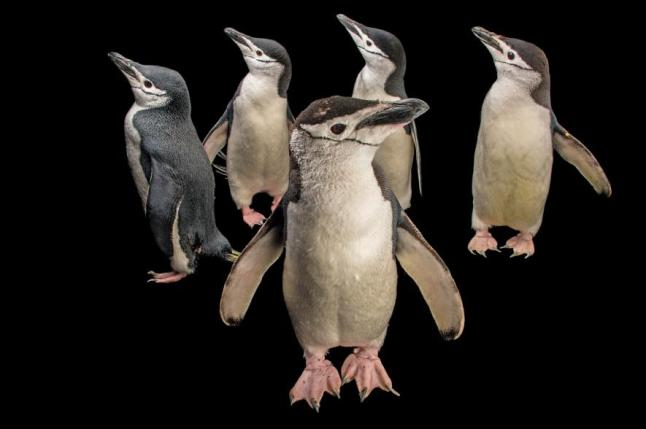 Chinstrap penguin, Pygoscelis antarctica, Newport Aquarium, Kentucky