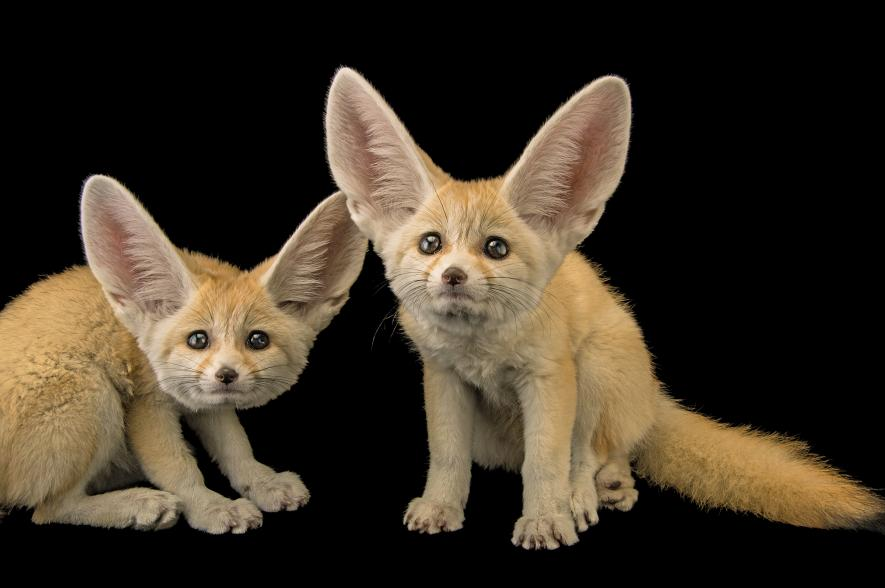 Fennec Fox The smallest foxes in the world have enormous ears to cool them down as they traverse sand dunes in the Sahara, where they are common. Their cuteness makes them attractive to the wild-pet trade.  2