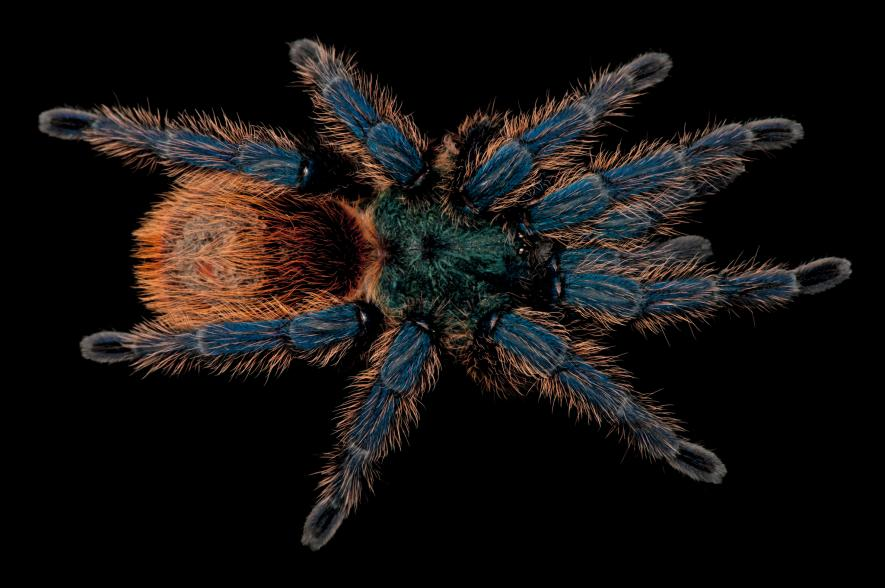 Greenbottle blue tarantula, Chromatopelma cyaneopubescens, Lincoln Children's Zoo, Nebraska