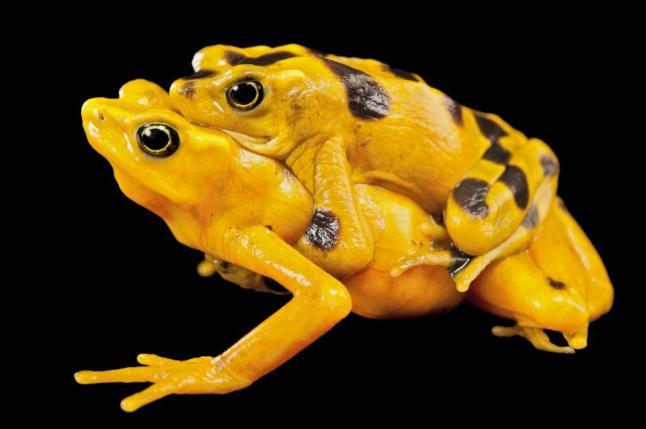 Panamanian golden frog, Atelopus zeteki, Miller Park Zoo, Illinois