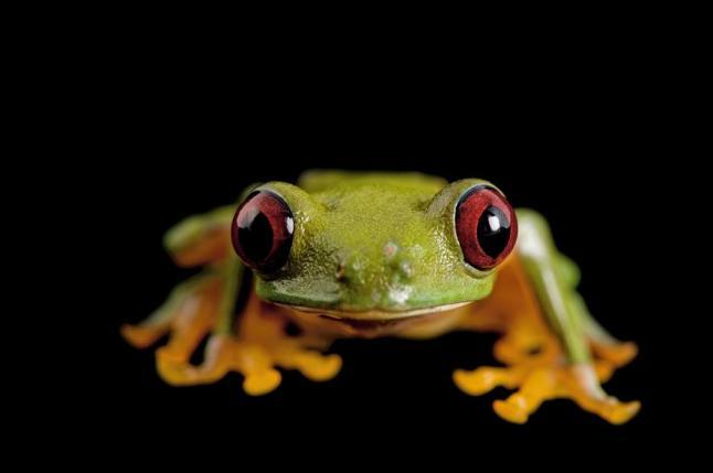 Pink-sided tree frog, Agalychnis litodryas, Pontificia Universidad Católica del Ecuador