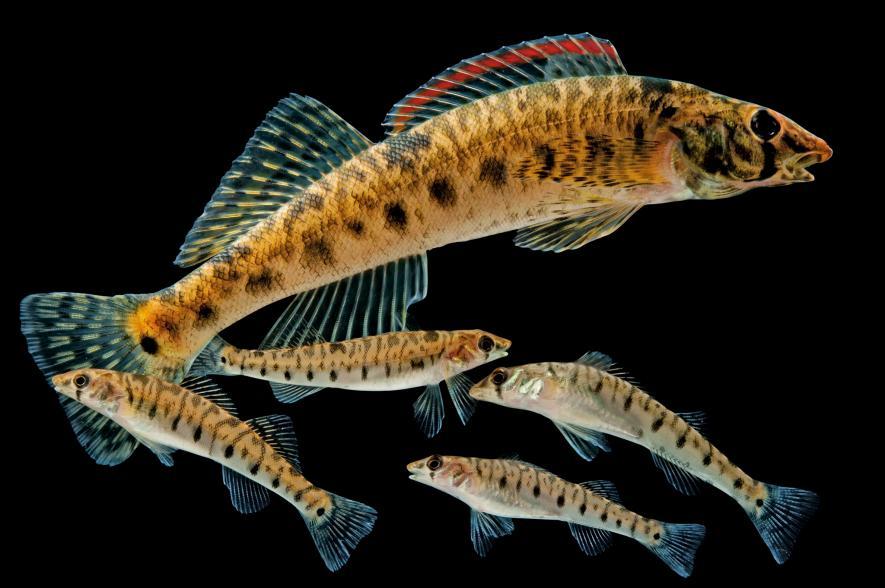 Roanoke logperch, Percina rex, Conservation Fisheries, Inc., Tennessee