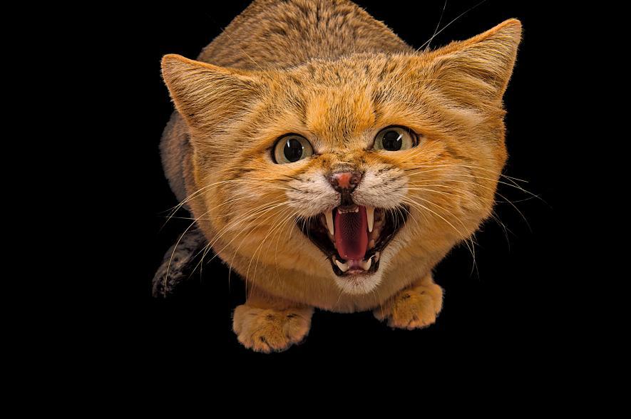 Sand cat, Felis margarita, Chattanooga Zoo