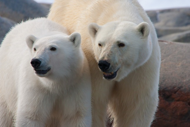 arctic-polar-bears