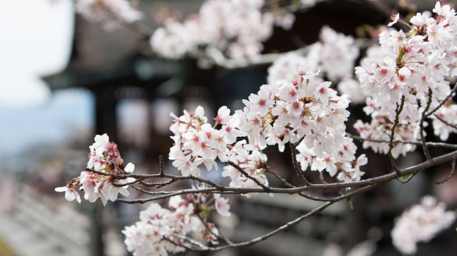 Cherry blossom time, in Kiyomizu Dera Temple, in Kyoto, Japan. Image shot 2012. Exact date unknown.