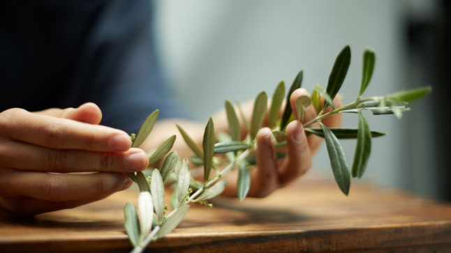 Close up of hands with an olive branch