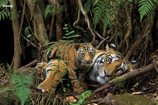 A tigress and her young cub relaxing near the cave she was born in- it's also the place she chose to have her first litter.